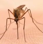 mosquito-147x150